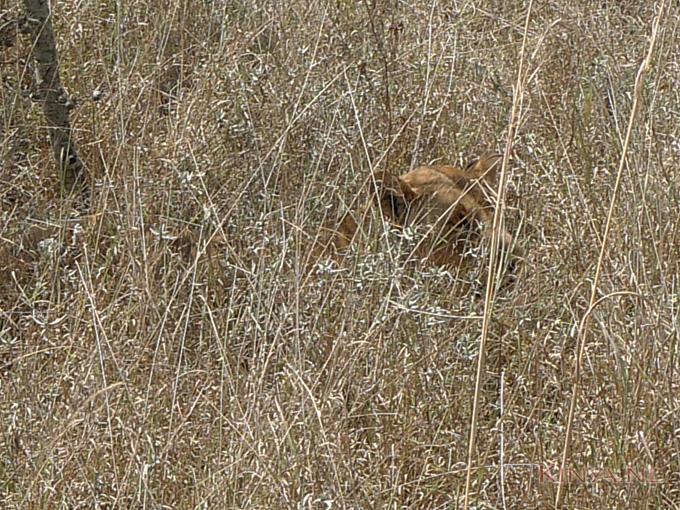 Hoog gras met verdwaalde leeuw