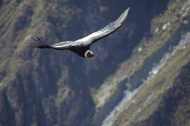 Andescondor in vrije vlucht over de Colca Canyon